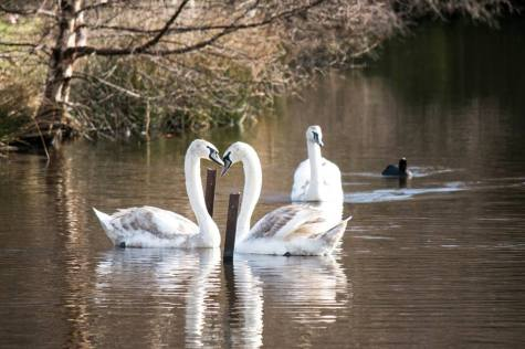 swans-pair